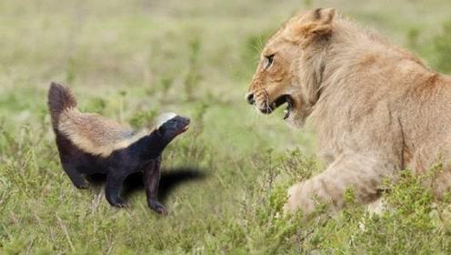 """""""非洲小霸王""""的特殊爱好:白天勇斗狮子,晚上没事去捡垃圾"""