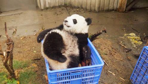 熊团子霸占食物筐,直接在上面耍赖不肯走,姿势还很销魂