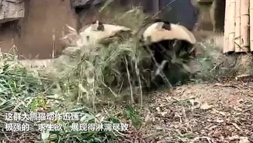 """四川绵阳发生4.6级地震,大熊猫放下竹子健步如飞""""一秒上树"""""""