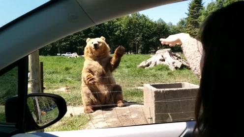 游客给棕熊投食,棕熊举手示意往这边投,5米远都能接住真厉害