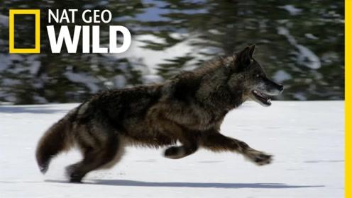 狼为什么在黑夜里眼睛会放光?原来一切都不是偶然