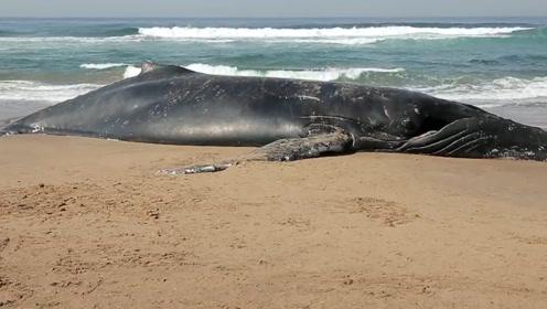鲸鱼死后可以孕育整个生态系统,但你听说过死后会爆炸的鲸鱼吗?