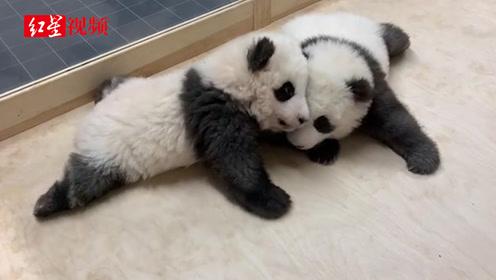 """""""梦想""""""""梦圆""""是国宝!旅德新生大熊猫双胞胎有名字了"""