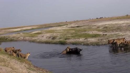 最勇敢的母狮,自己单枪匹马就下水扑向野牛,同伴岸上看戏