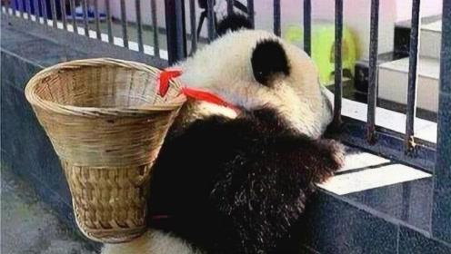 全球唯一不属于我国的大熊猫,无法回到祖国怀抱,原因让人心疼!