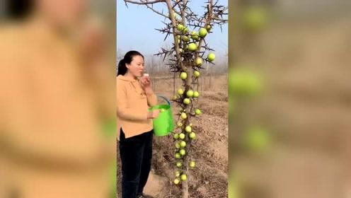 这是什么树,这样摘果子也太方便了