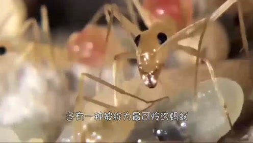 """最可怜的蚂蚁,生下来就变成""""活仓库"""",还被人们用来酿酒"""