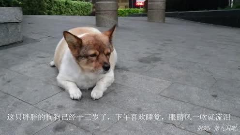 这只胖胖的狗狗已经十三岁了!下午喜欢睡觉!眼睛风一吹就流泪!