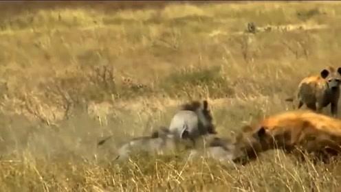 小疣猪惨遭鬣狗杀害,公疣猪悲痛欲绝的跑走了,留得青山在不怕没柴烧