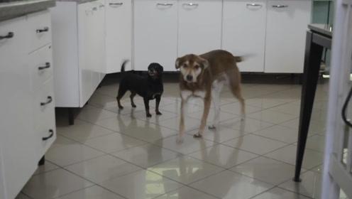 """两只狗子的日常,大狗喜欢""""惹""""小狗,小狗:能不能消停点?"""