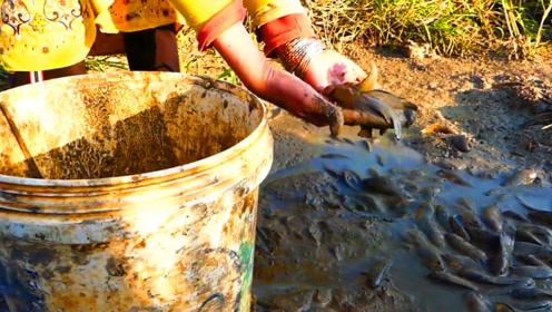 田间水坑干涸,好多鱼在泥坑挣扎,看农村妹子一路抓鱼,太过瘾了