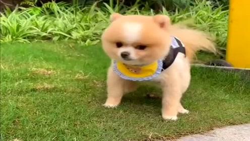 主人带博美狗狗出来遛弯,看它乖巧的样子真是太可爱了,萌萌哒!