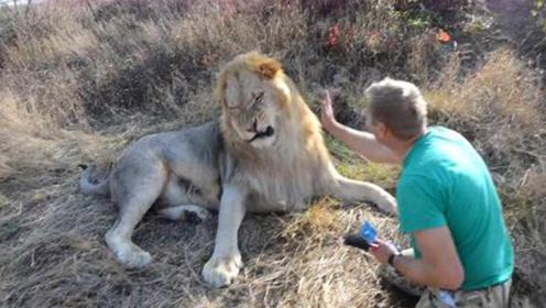 狮子耍脾气不愿梳毛,饲养员上去就是一巴掌,下一秒忍住别笑