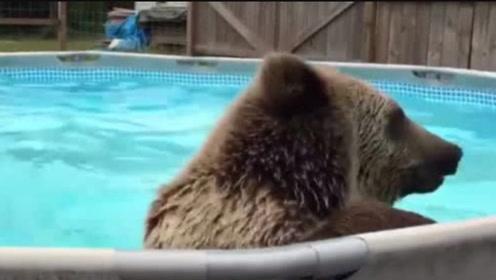 棕熊私闯名宅霸占游泳池,还玩起了跳水,无视有镜头在记录