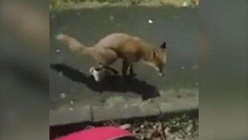 狡猾狐狸想喝杯子里的水被赶驱赶,往茶杯里撒尿后扬长而去