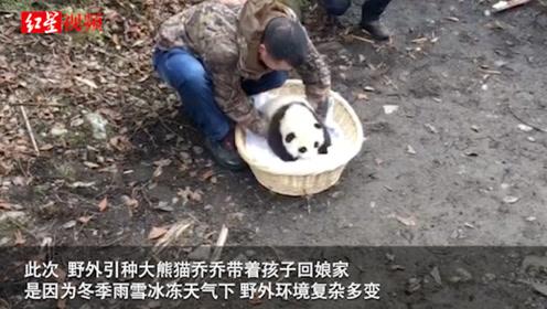 萌翻了!野外产仔大熊猫回捕 八抬大轿加小背篓把熊猫母女接回家