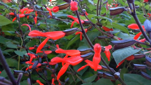 农村野花形似烈焰红唇,长得好看就算了,还能用来治病!