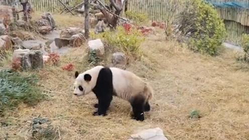 """看到开饭太兴奋,大熊猫走路被草绊倒,爬起后""""发飙""""打空气"""