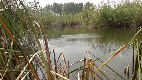 野钓芦苇塘,这样的漂相也能中鱼,太厉害了
