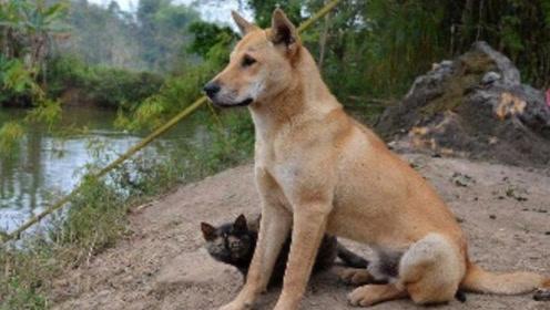 为什么农村的土狗不能做警犬呢?不是它们傻,而是智商比较高