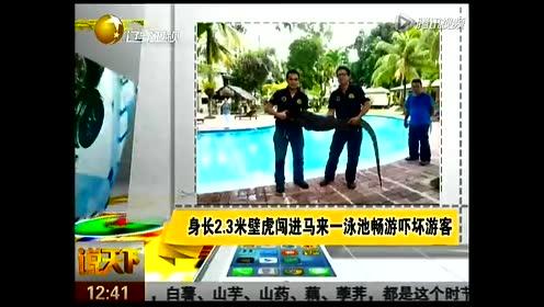 马来西亚一泳池闯入身长2.3米壁虎 游客被吓坏