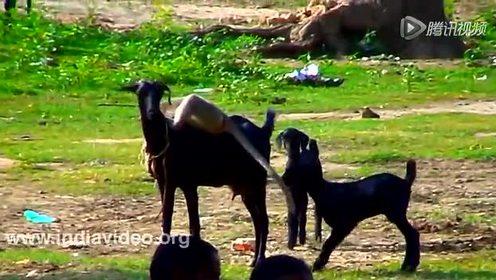 就这么任性 猴子骑山羊玩呀玩