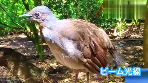 据说琴鸟是世界上最会模仿的鸟!能惟妙惟肖地模仿各种声音