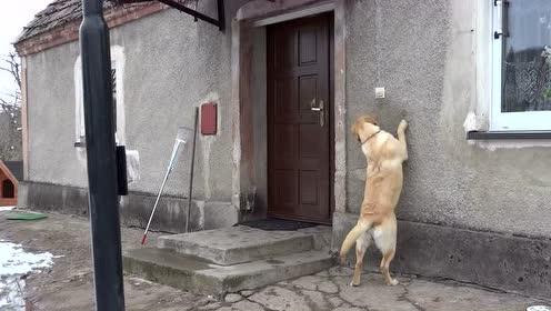 天气冷想回家,拉布拉多竟会按自家门铃,边按边扭头看门开了没!
