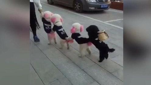 四只泰迪放学排队回家,没一个掉队!厉害了