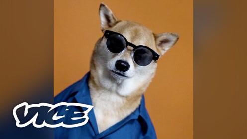 宠物网红:最有型的男装柴犬Bodhi