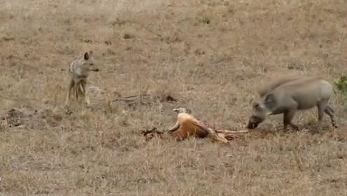 疣猪在吃羊肉,却引来不速之客,结局却很搞笑