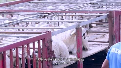 还放羊养娃再放羊?这些牧民已和全世界做生意了