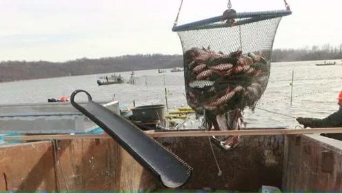 暴殄天物!美国捕获4.7万条亚洲鲤鱼不会吃 准备直接填埋