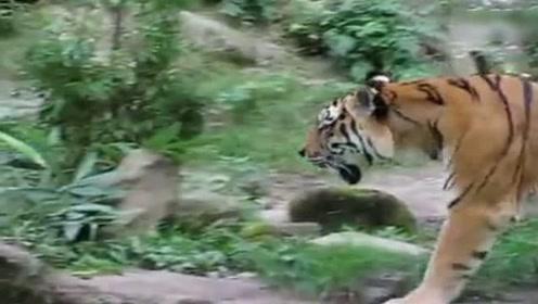 一只巨大的东北虎,一声怒吼震动整个动物园,太霸气了!