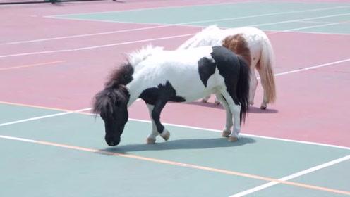 杭州一所小学竟然养了两匹马,纯英国进口的!