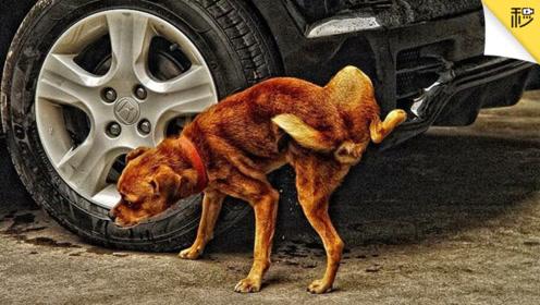 狗尿毁车有多狠?