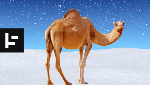 奇怪珍兽图 - 巨型骆驼曾经漫游北美