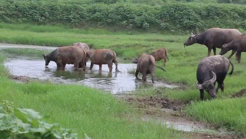 酷热难耐 老牛集体滚泥浴