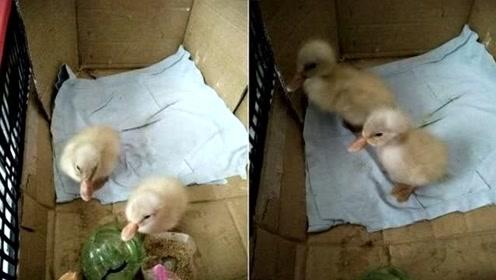 阳台筑巢被风吹倒致鸟蛋破裂 越南媳妇冰箱拿鸡蛋结果浮出小鸭