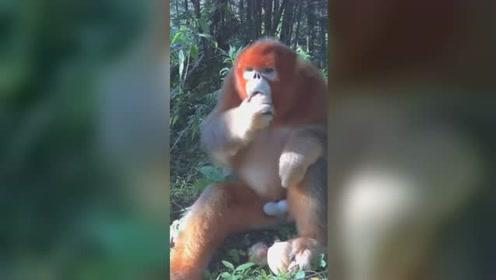 天热没胃口?来看看金丝猴与你面对面吃播