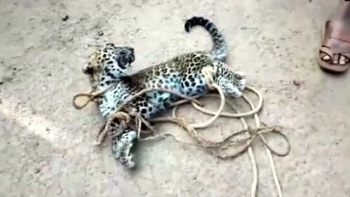 印度村民俘获两个月大豹子沦为孩子玩具 引发众怒