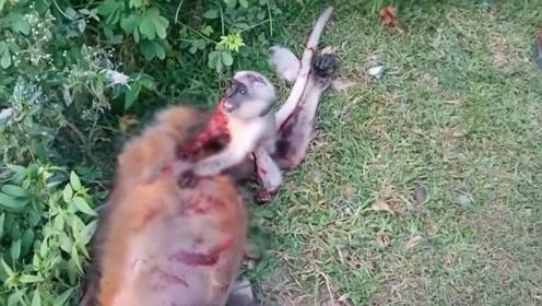 泪目!母猴被车撞死 猴宝宝搂着妈妈哭喊不肯离去