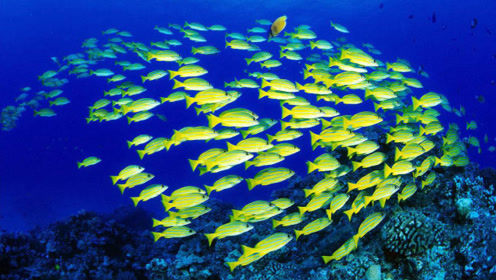 成千上万的鱼在一起游动,为什么不会追尾?网友:自带传感器?