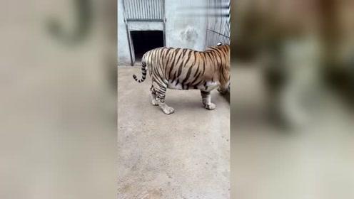 现在的老虎是真的很闲,没事的时候就出来溜溜,一点老虎样都没了