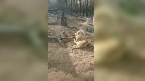 狗子:小狮别怕,有我在呢。虎子一边玩去