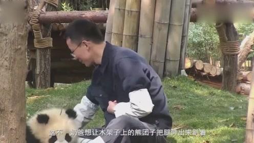 奶爸让熊团子伸腿无果,气得奶爸直接上手拽,熊团子还淡定吃吃吃!