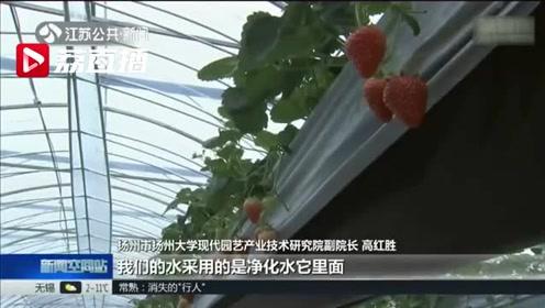 """高架栽培草莓上市 """"甜蜜""""产业助力农民增收"""