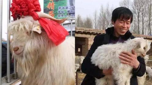 """一只羊10万块!陕北地区卖出首只""""天价羊"""""""
