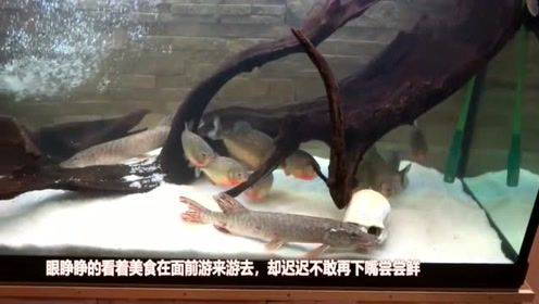 当凶猛的食人鱼遇到梭鱼会怎样呢?真是不可思议,竟然如此神奇!