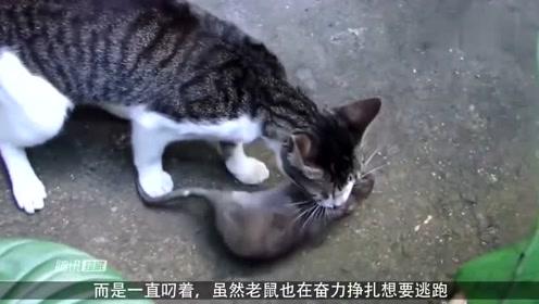 猫咪抓到老鼠,玩弄一天就不松口,求老鼠的心理阴影面积